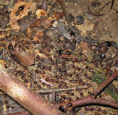 black termite, Macrotermes carbonarius