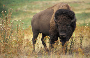 First Wild Bison Ever Seen In Germany For 250 Years Is Shot Dead The Following Day