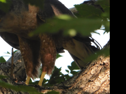 A Close Encounter with a Red Tailed Hawk
