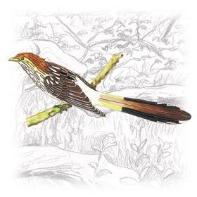 Anu-Branco (Guira guira)