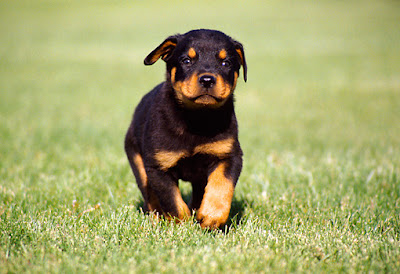 come Rottweiler