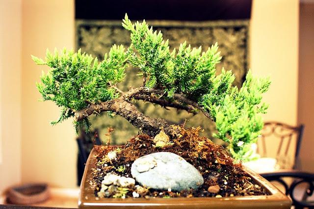 bonsai, jardinería, técnicas, métodos, meditación, relajación