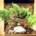 Como hacer de un Arbusto un Bonsai <sub>Jardineria</sub>