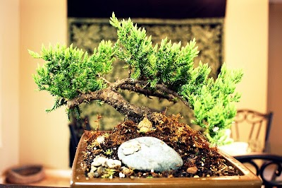 Como hacer de un Arbusto un Bonsai