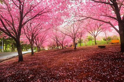 Primavera y cerezos en Japón