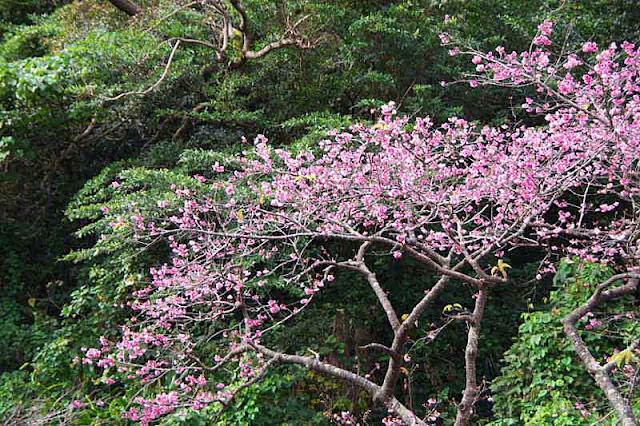 cherry blossoms on a mountainside