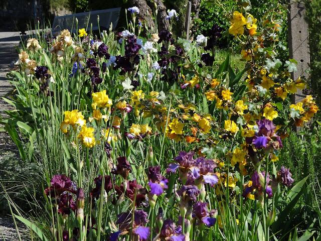 Floraisons 2016 de nos grands iris barbus et Bilan - Page 2 DSC07381
