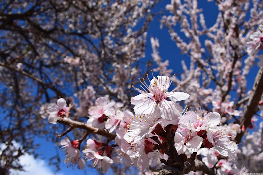 Almond Blossom in Ghizer Gilgit