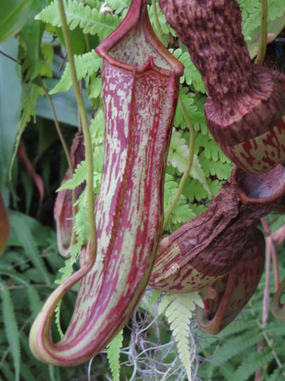 red leopard pitcher plant at Meijer Gardens