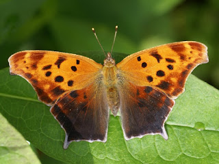 Polygonia interrogationis - Polygone point d'interrogation