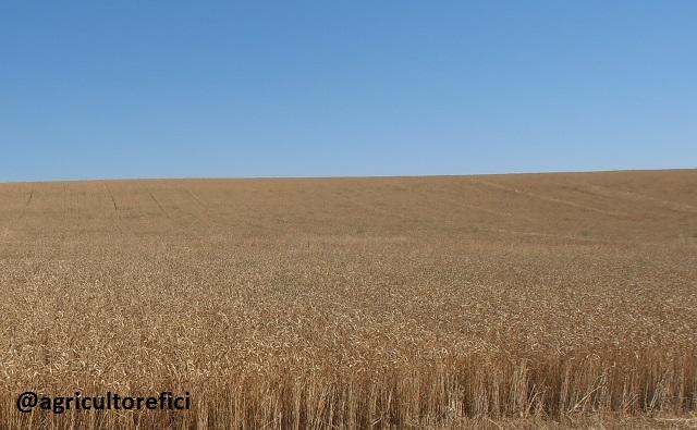Trigo cereales cultivo