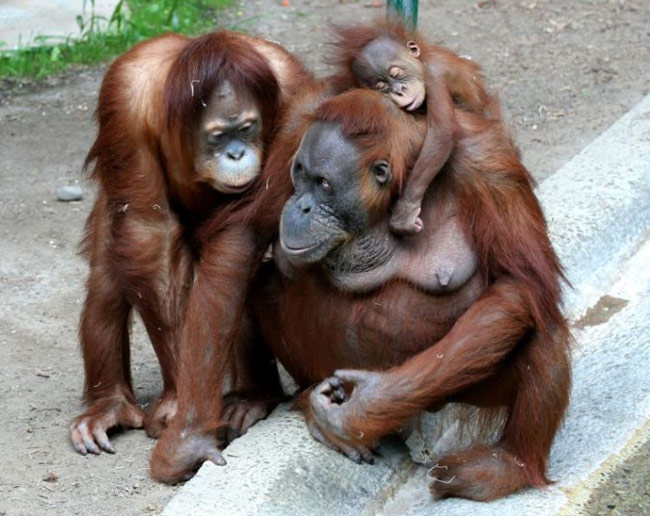 Orangutan Lifespan 5 animals that are bet...