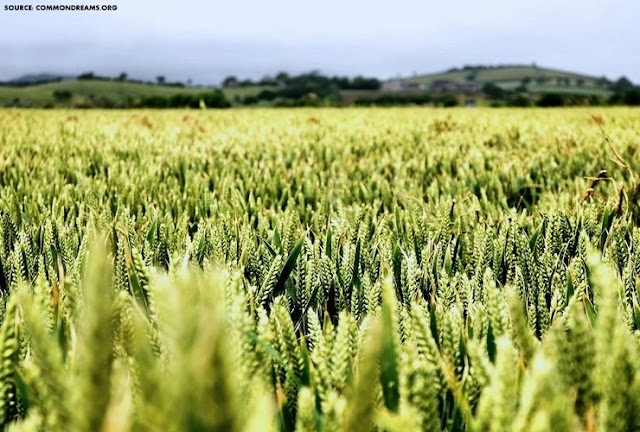 FOOD SECURITY | GM Crops and the Developing World: Opposing Sides Miss the Bigger Picture