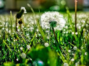Budidaya Flora Dandelion, Bunga Segudang Manfaat & Penuh Arti