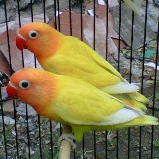 lovebird sesak nafas