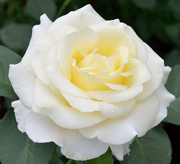 Chopin сорт розы фото