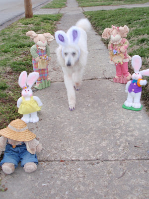 Carma, white standard poodle, hopping down sidewalk with bunnies on both side