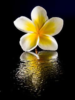 bunga kamboja vintage
