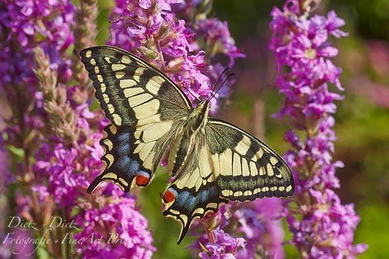 Schwalbenschwanz (Papilio machaon) auf  Blutweiderich (Lythrum salicaria)