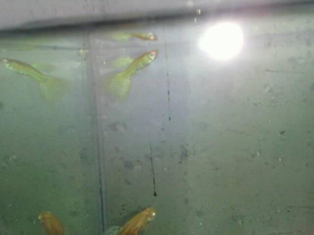 Jual Ikan Guppy Albino King Cobra - Ari fish