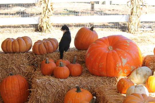 cat on pumpkin patch