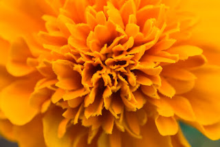Marigolds for Day of the Dead