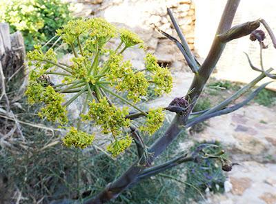 Cañaheja (Ferula communis)