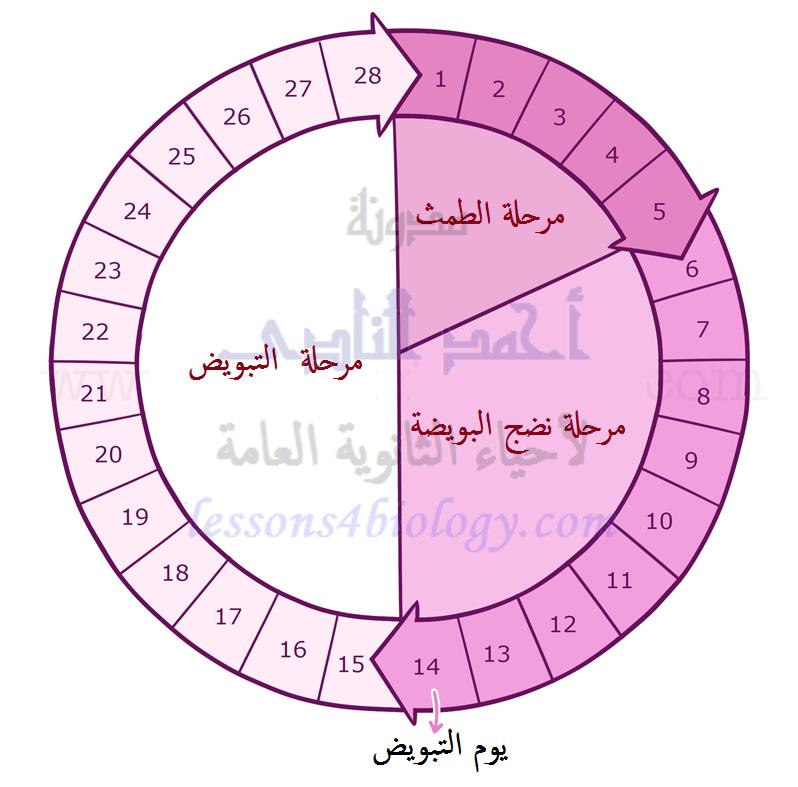 الدورة الشهرية - الطمث - دورة التزاوج