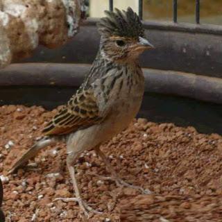 Burung Branjangan - Banyak Jenis Burung Branjangan Tetapi Hanya dari Jawa yang Menjadi Vavorit Para Kicaumania