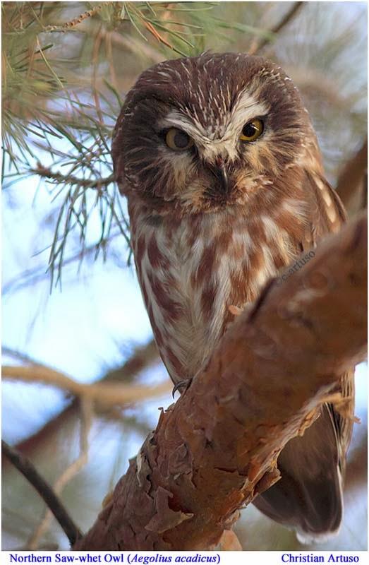 Christian Artuso: Birds, Wildlife: Another S'wet! - photo#21