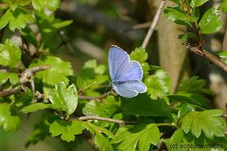 Klimop trekt veel insecten aan zoals bijen, vlinders en zweefvliegen. De rups van dit Boomblauwtje eet knoppen of vruchten van de klimop. Grotere rupsen eten soms blad.