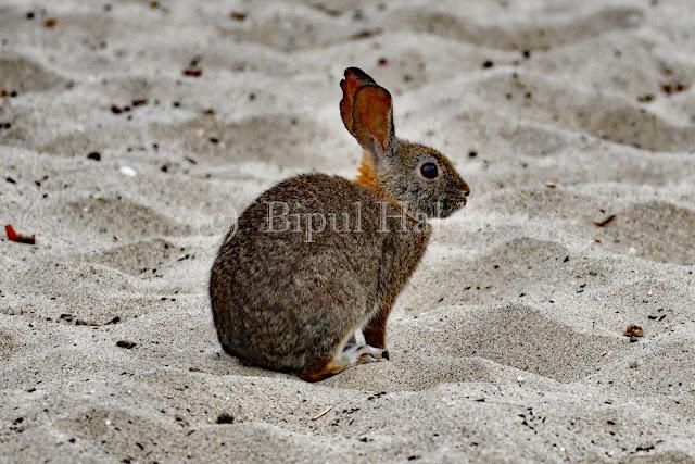 A Jackrabbit warming on the sand