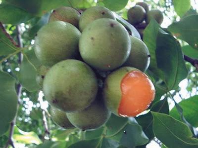 Esta pequeña fruta, cura el insomnio y los nervios dañados.