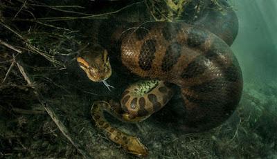Anaconda betina besar