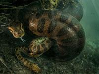 Mengejutkan, Anaconda Betina Bunuh Pasangannya Usai Kawin