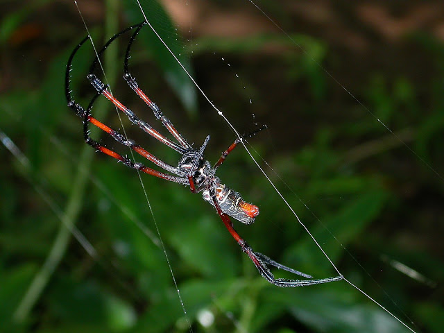 Nephila madagascariensis