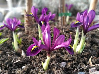 Iris reticulata 'Harmony