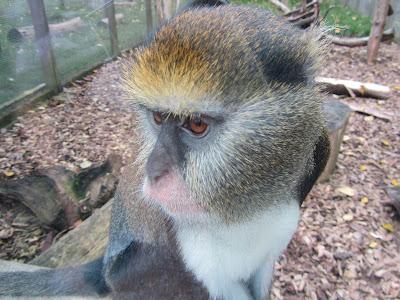 Macacos usam recurso de linguagem similar ao dos humanos