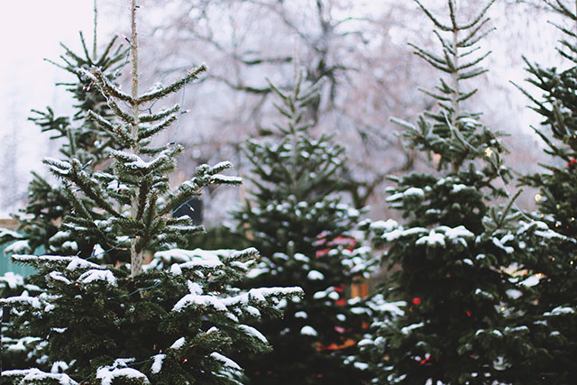 Snow covered Christmas trees
