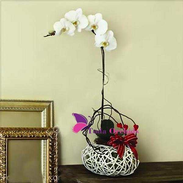 Hoa lan hồ điệp trắng - Hoa lan văn phòng