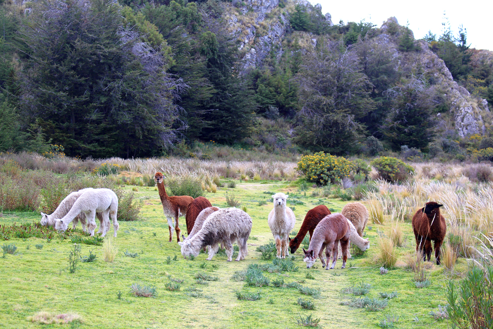 Llamas at Hotel Libertador Lago Titicaca, Puno - travel blog