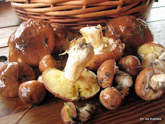 maslak zwyczajny, maslaczki, grzyb, grzyby jadalne, grzybobranie, atlas grzybow, grzyby gatunkami