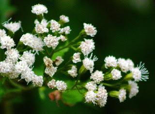 8 tanaman beracun yang wajib anda waspadai
