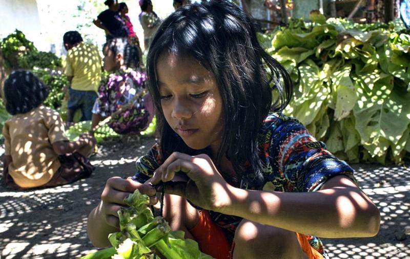 Criança a trabalhar na plantação de tabaco na Indonésia