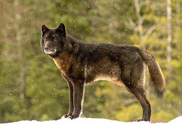 He Watched Helplessly As A Wild Wolf Approached His Dog. Then Something Incredible Happened. - Jans was on the back porch of his Juneau home with his dog when a wild wolf appeared. With all the excitement, his dog slipped away, racing out to meet the stranger.