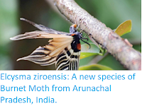 http://sciencythoughts.blogspot.co.uk/2018/01/elcysma-ziroensis-new-species-of-burnet.html