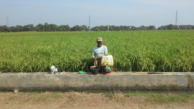 Harga jual beras ketan diprediksi akan menurun