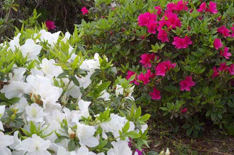 Azalea, flowers, red and white