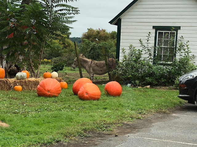 Donkey and Pumpkins at Historic Round Barn in Adams County Pennsylvania