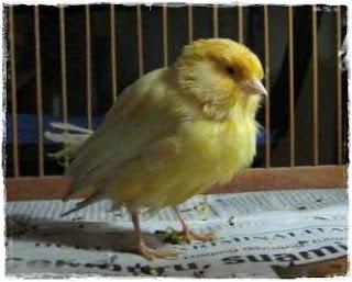 Penyakit Mencret Pada Burung - Mengatasi Penyakit Mencret Pada Burung Kenari - Solusi Penangkaran Burung Kenari